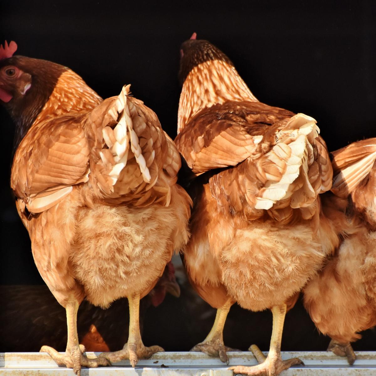Reintroduce your chicken slowly.