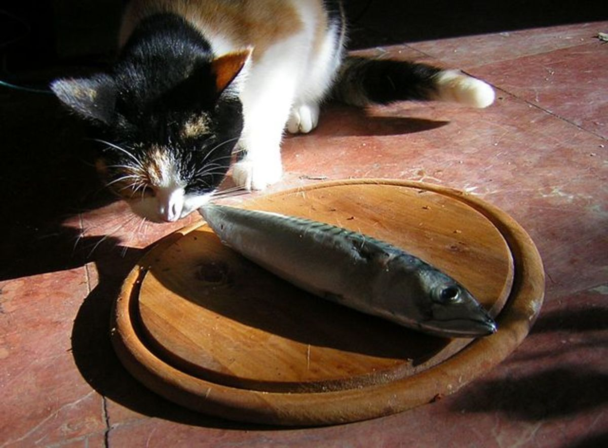 This cat is ready to feast on his fish!