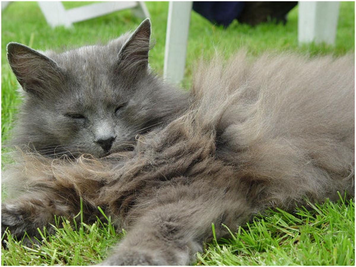 Blind cat Kyra enjoying the sun in the grass