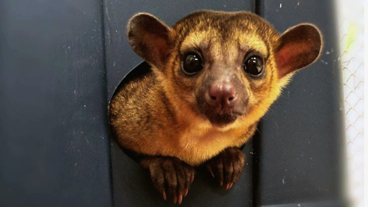 The kinkajou is another exotic pet often up for rehoming.