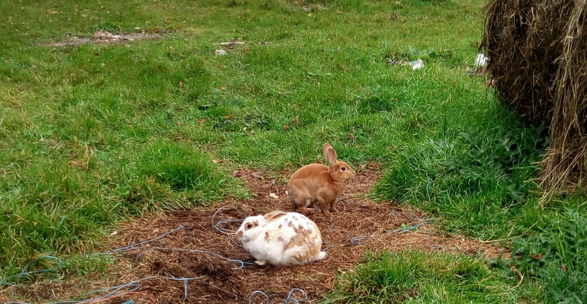 Two free-range meat rabbits, Miss Doe and Red Bunny, living as they please. (Don't mind the baling twine or the old hay pile!)