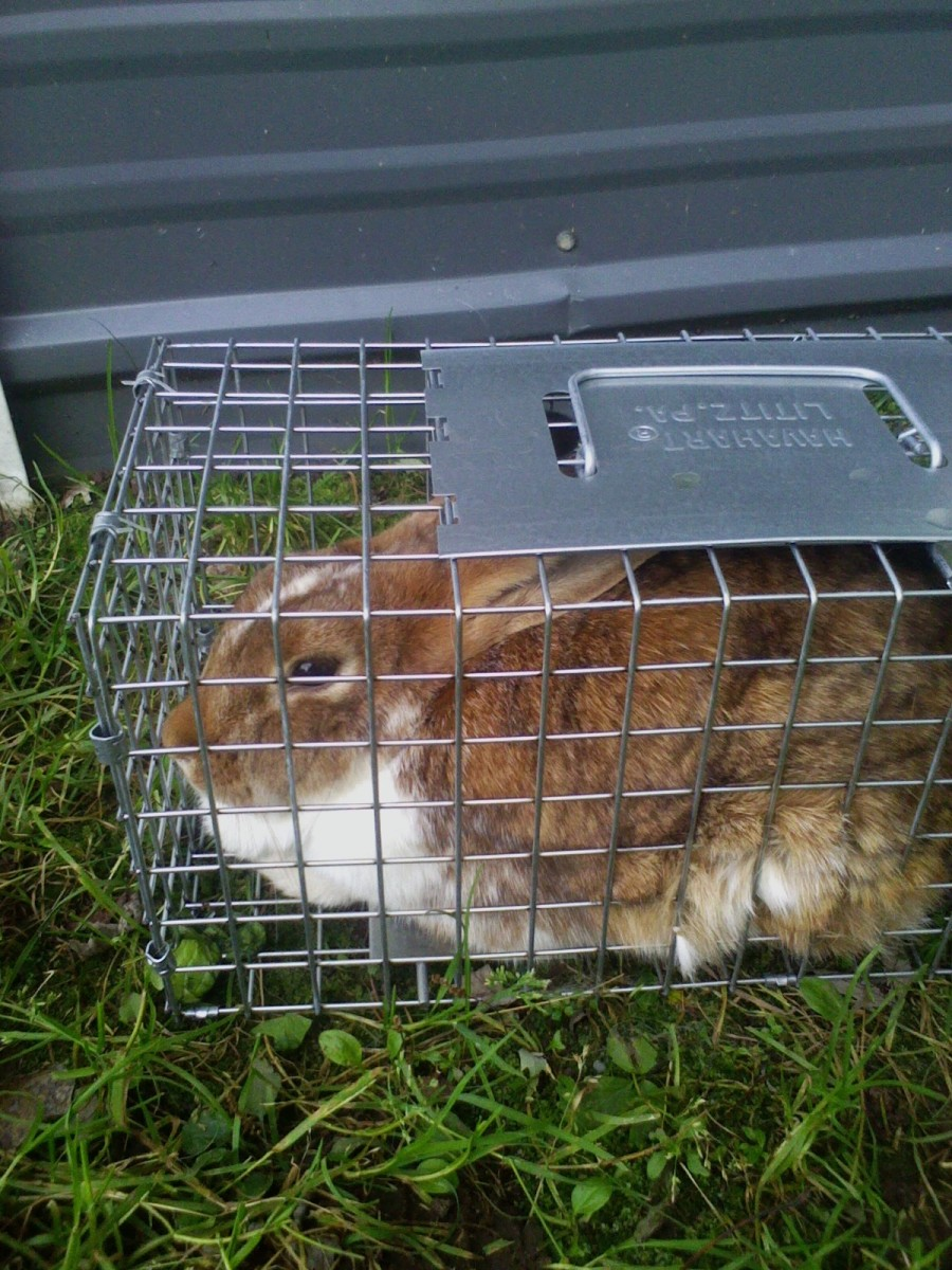 Trapping a free-range meat rabbit in a live trap.