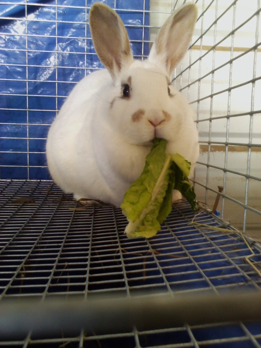 Free Range Meat Rabbits   PetHelpful