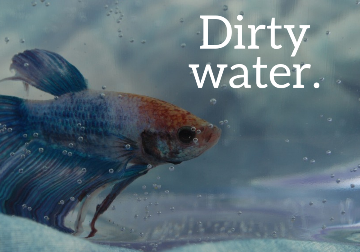 Poor water conditions is one of the main reasons why a betta fish dies.