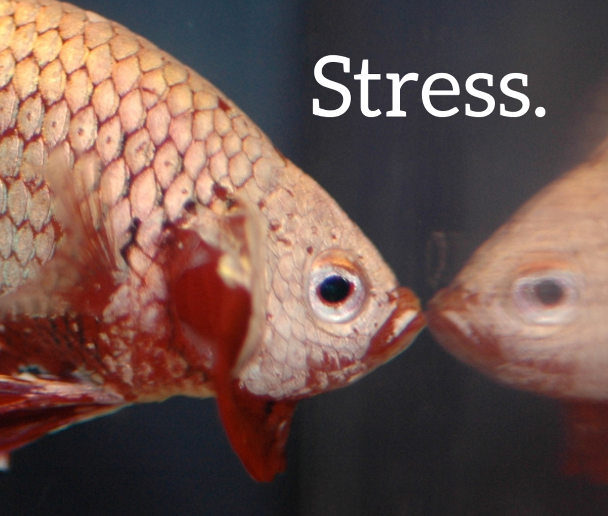 Stress is a major cause of death for betta fish.