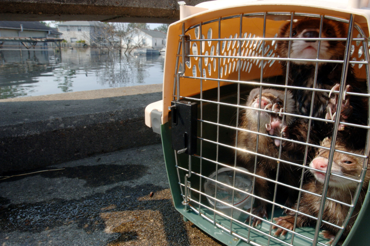 Ferrets being moved during Hurricane Katrina response efforts