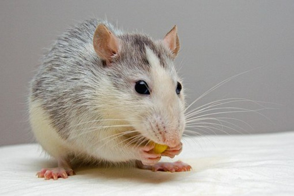 The fancy rat is clean and odorless.