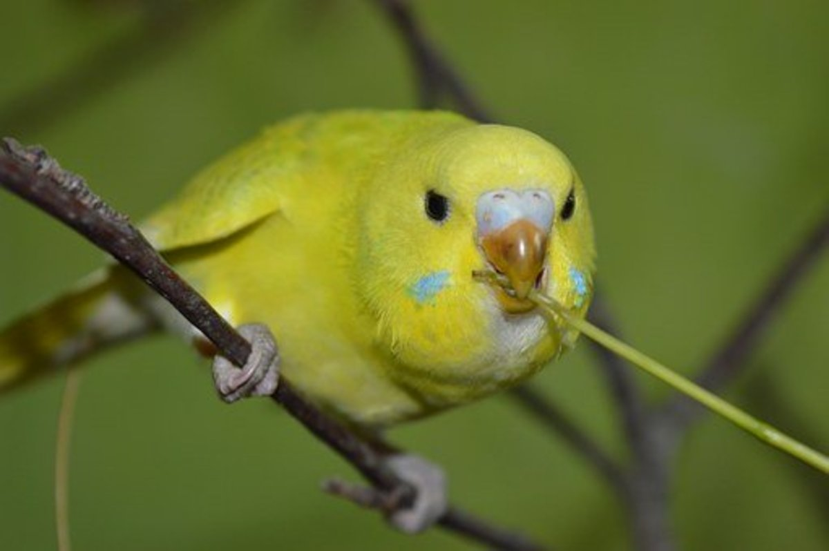 Budgies are clean and love to bathe.