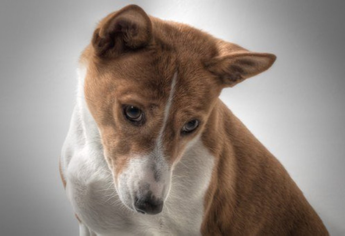 The basenjis' coat does not trap in odor