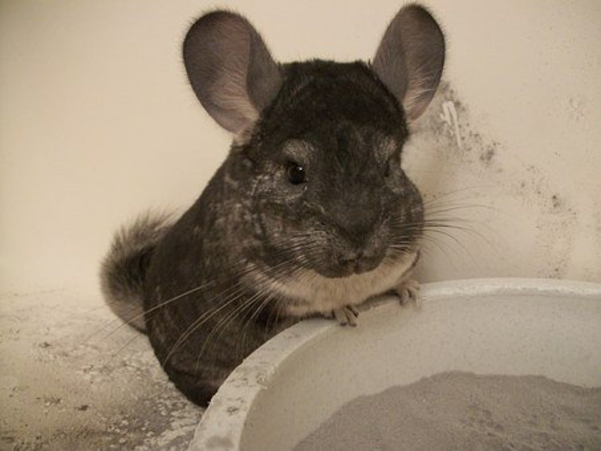 Chinchillas are clean and odorless pets