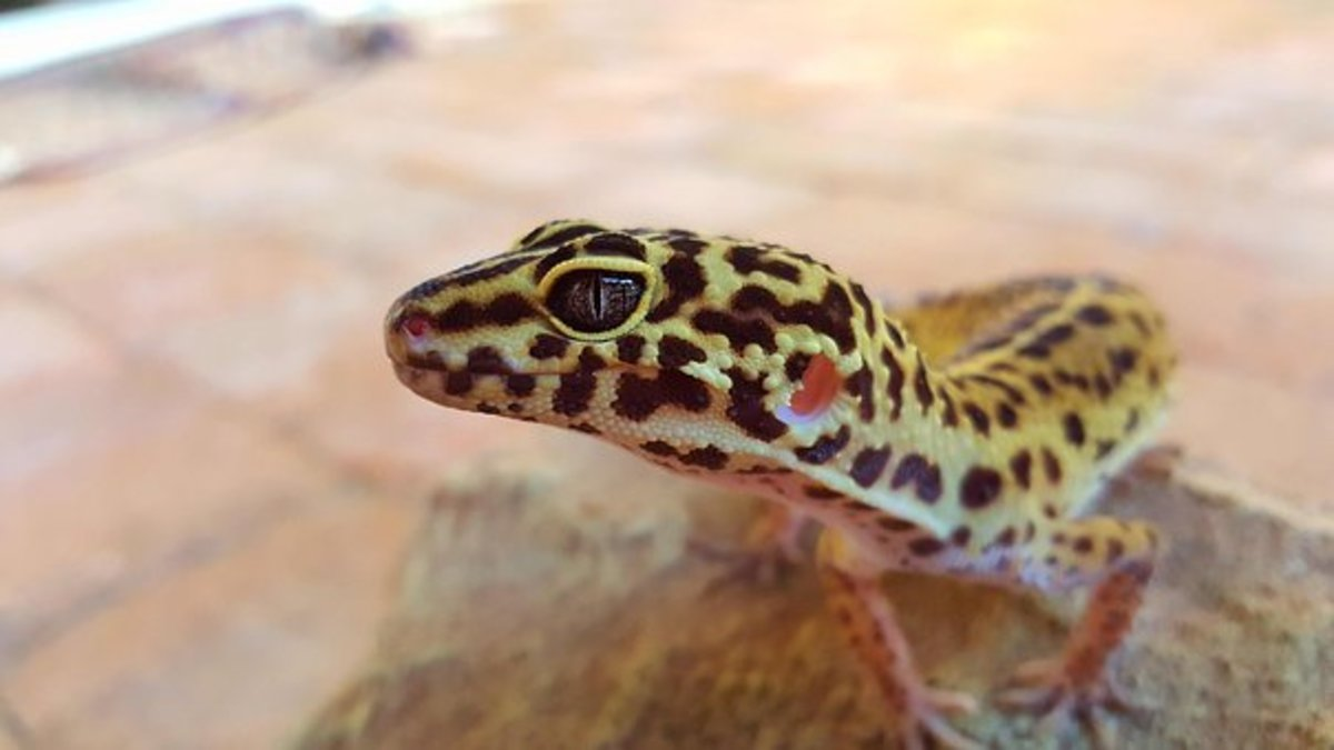 The gecko relies upon its lack of scent.
