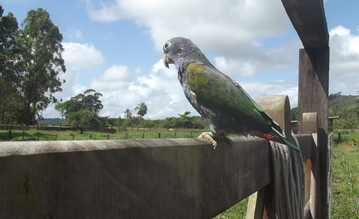 My Pionus out checking on the horses.