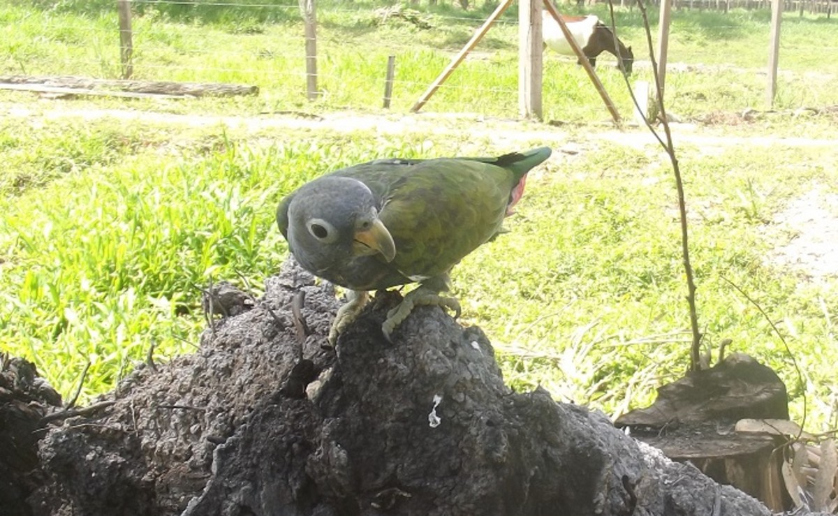 If you allow your Pionus to feed outside occasionally, he will pick up his minerals naturally.