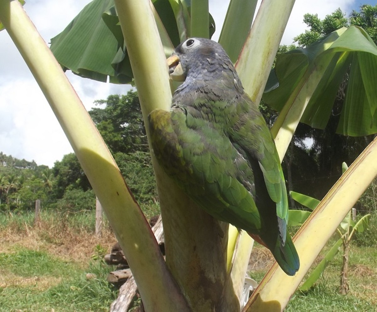 Pionus keeping in shape by struggling up the side of a banana tree.