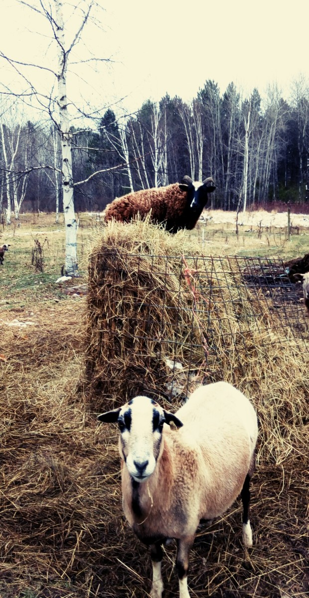 One of my ewes overcoming the hay cage!