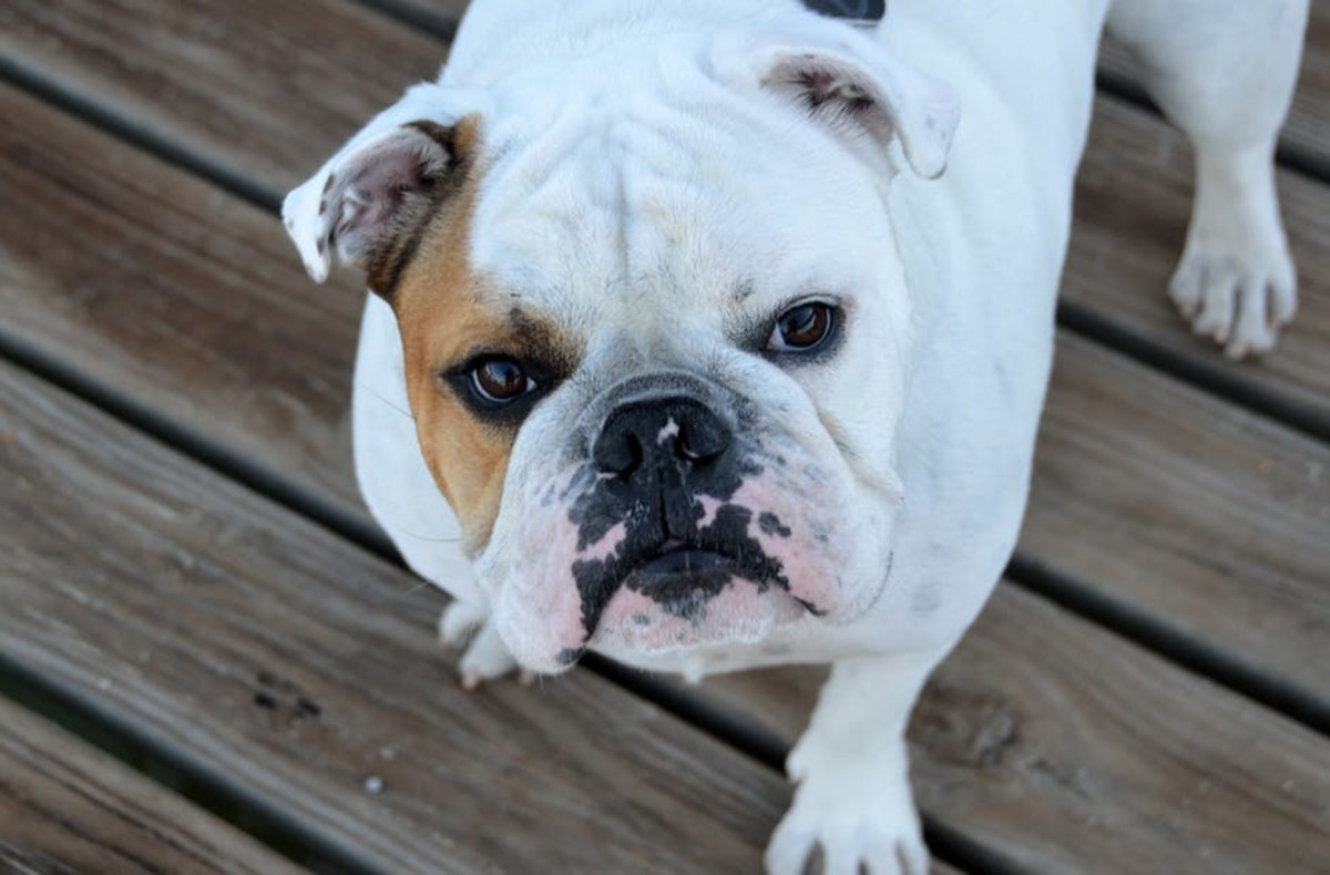 Bulldogs have a characteristically cute face with round, dark eyes and a flat nose.