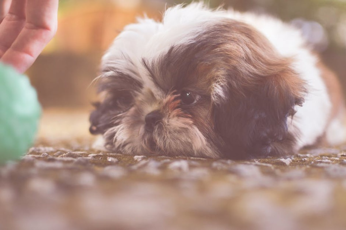 The Shih Tzu can be a hard dog to resist.