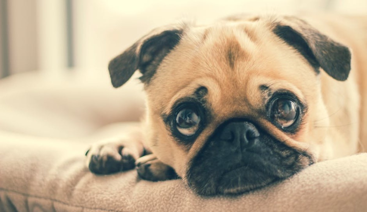 Pugs are known for their sweet, lovable nature and small stature - both of which makes them excellent dogs for apartment living.