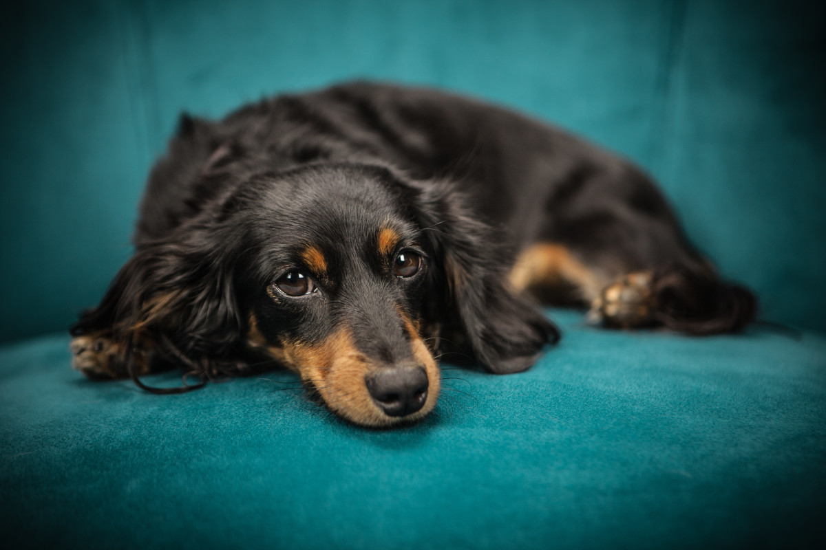 The small size and beautiful coat of a Dachshund has won the hearts of many pet owners.