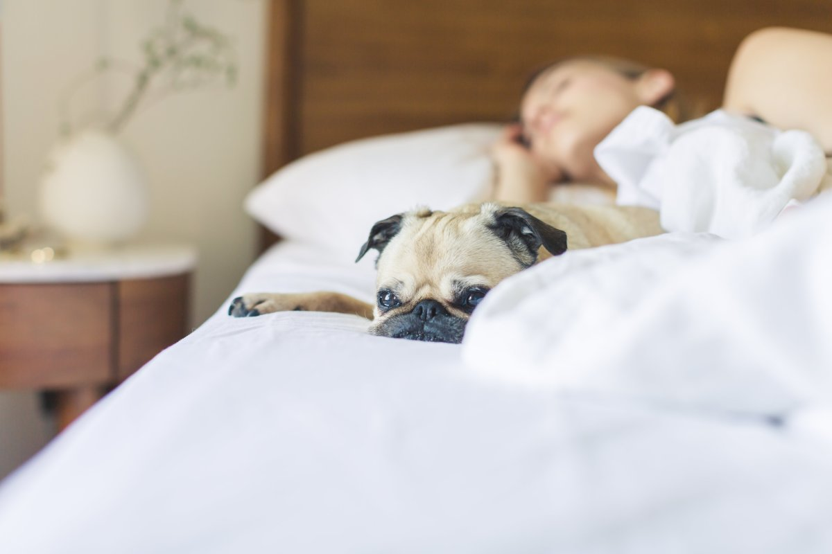 Pugs haven't forgotten their royal origins, and still enjoy lounging around with their favorite humans.