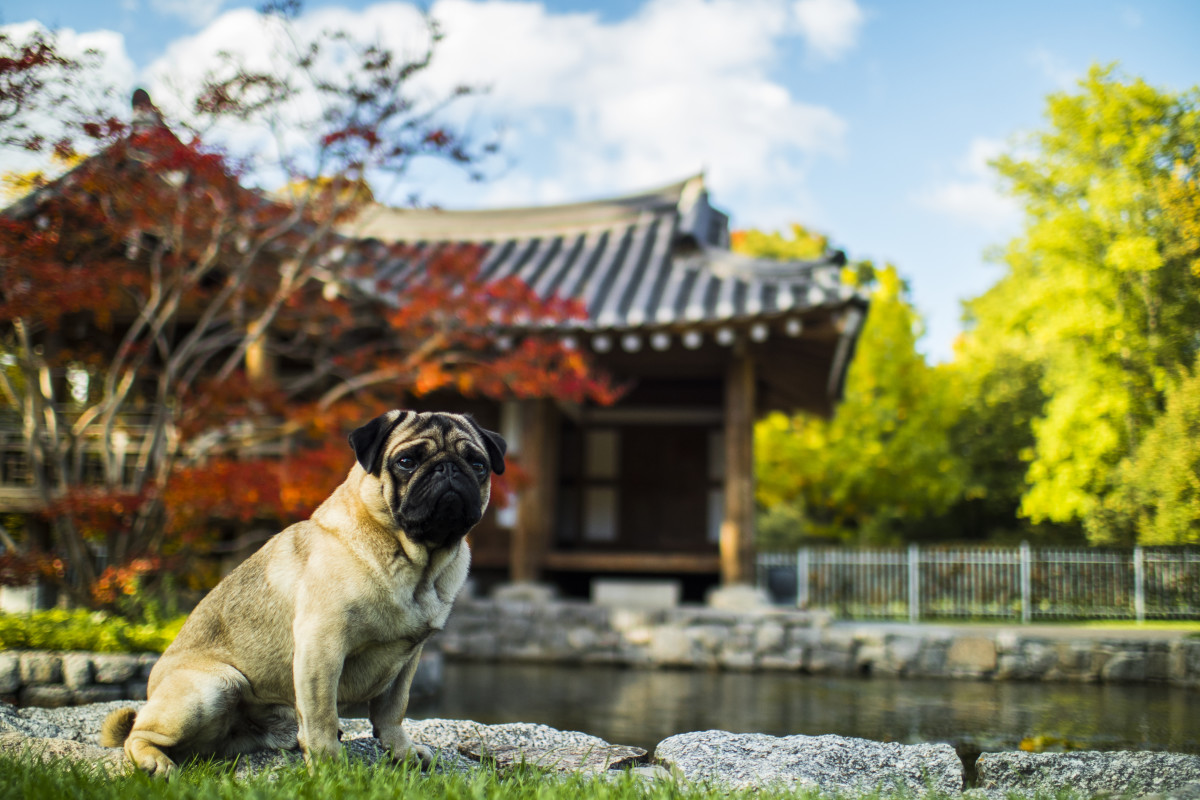 Pugs trace their origins to ancient China, where they enjoyed a life of luxury as Emperors' lapdogs.