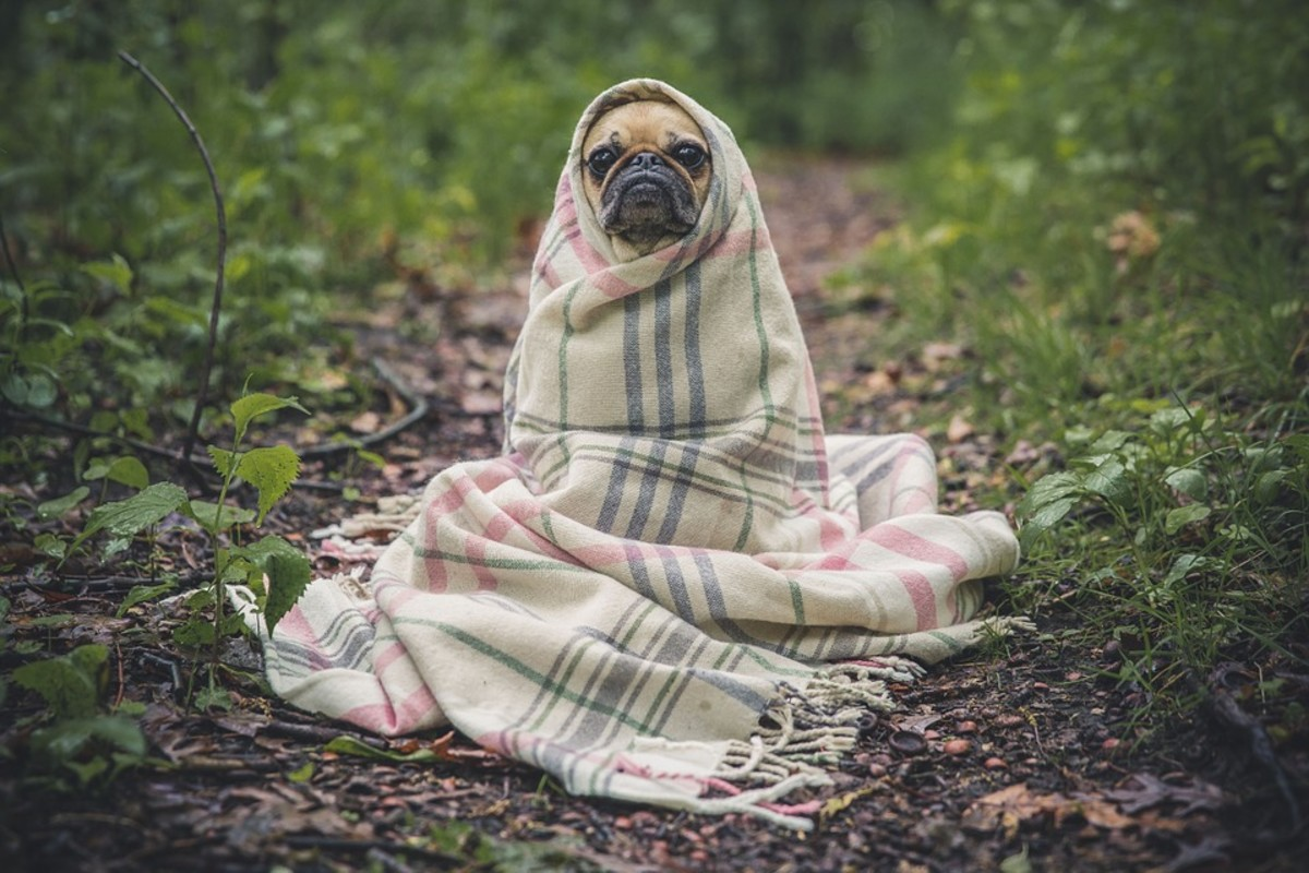 Pugs have made a long journey from Chinese palaces and monasteries to European courts and modern homes.