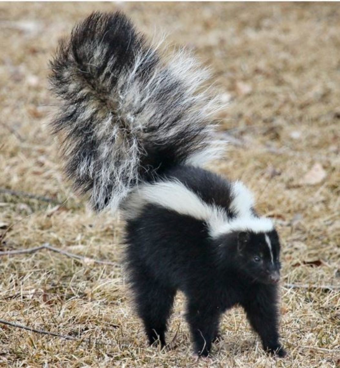 Skunks are known to carry and transmit rabies within the United States.