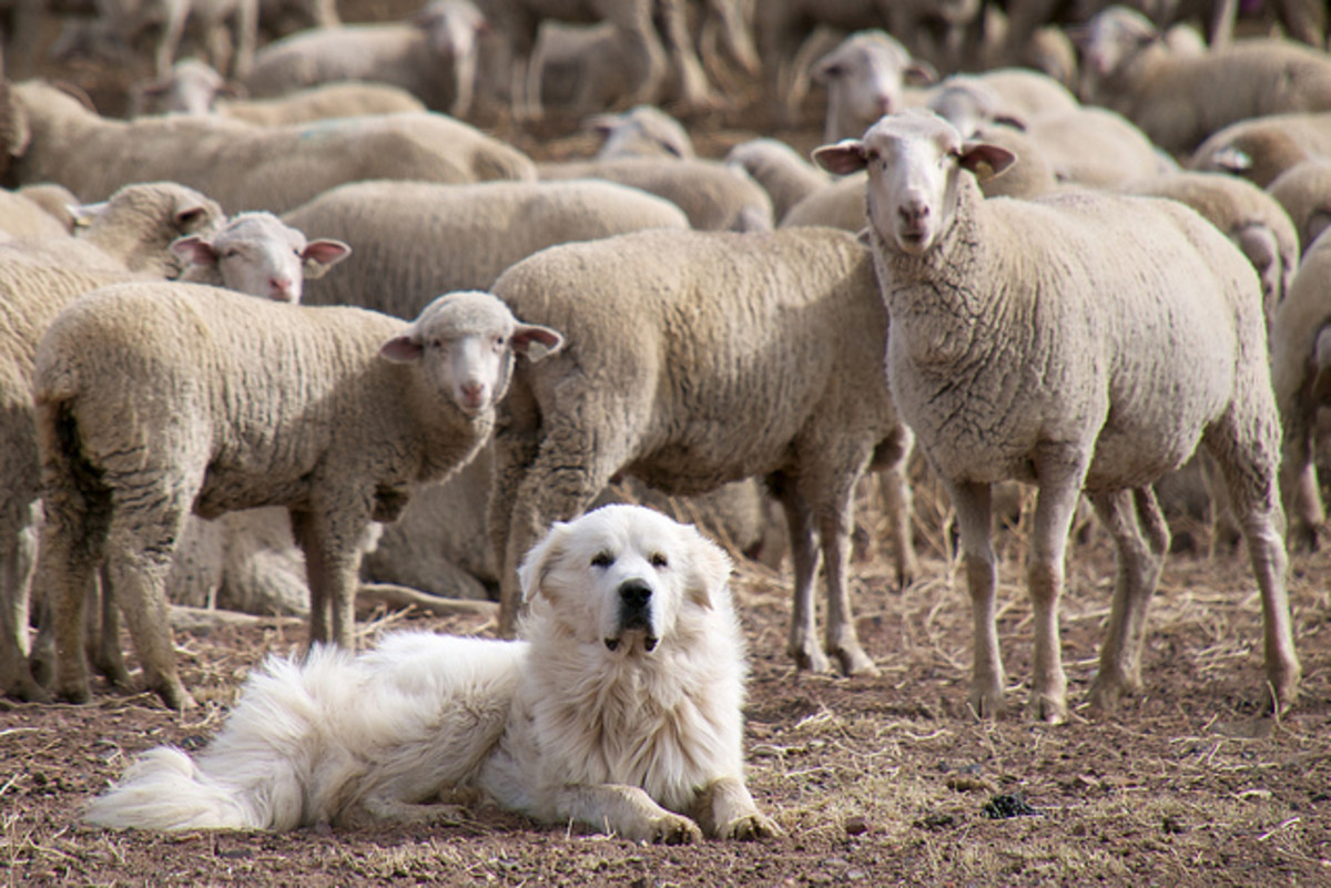 Livestock guard dogs are raised with sheep so that they do not have the urge to chase.