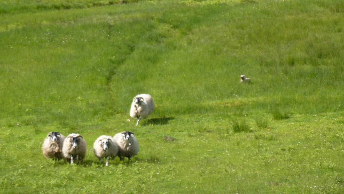 If you let your dog loose before training him, it will be difficult to teach him not to chase sheep.