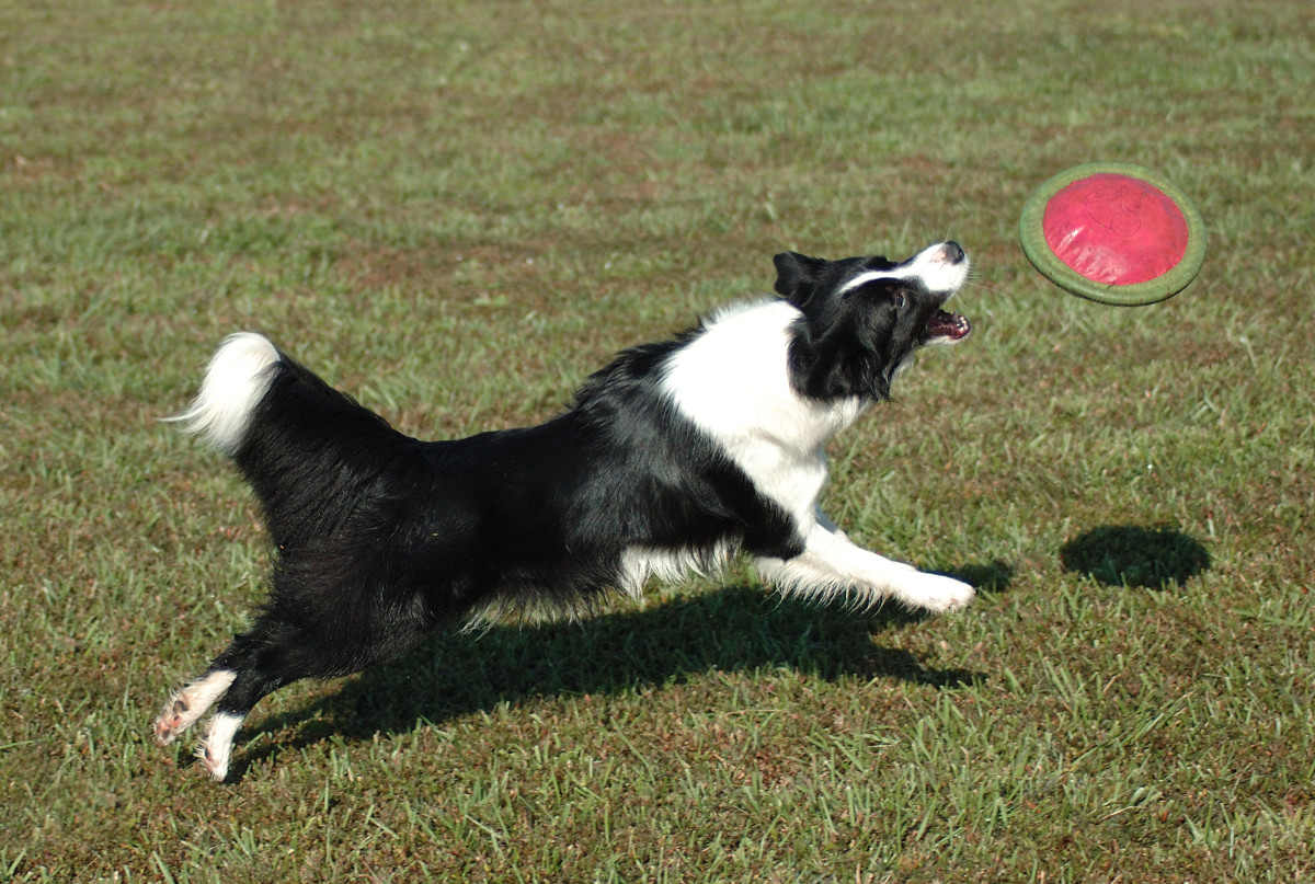 Built for speed and endurance this canine catapult will go all day!