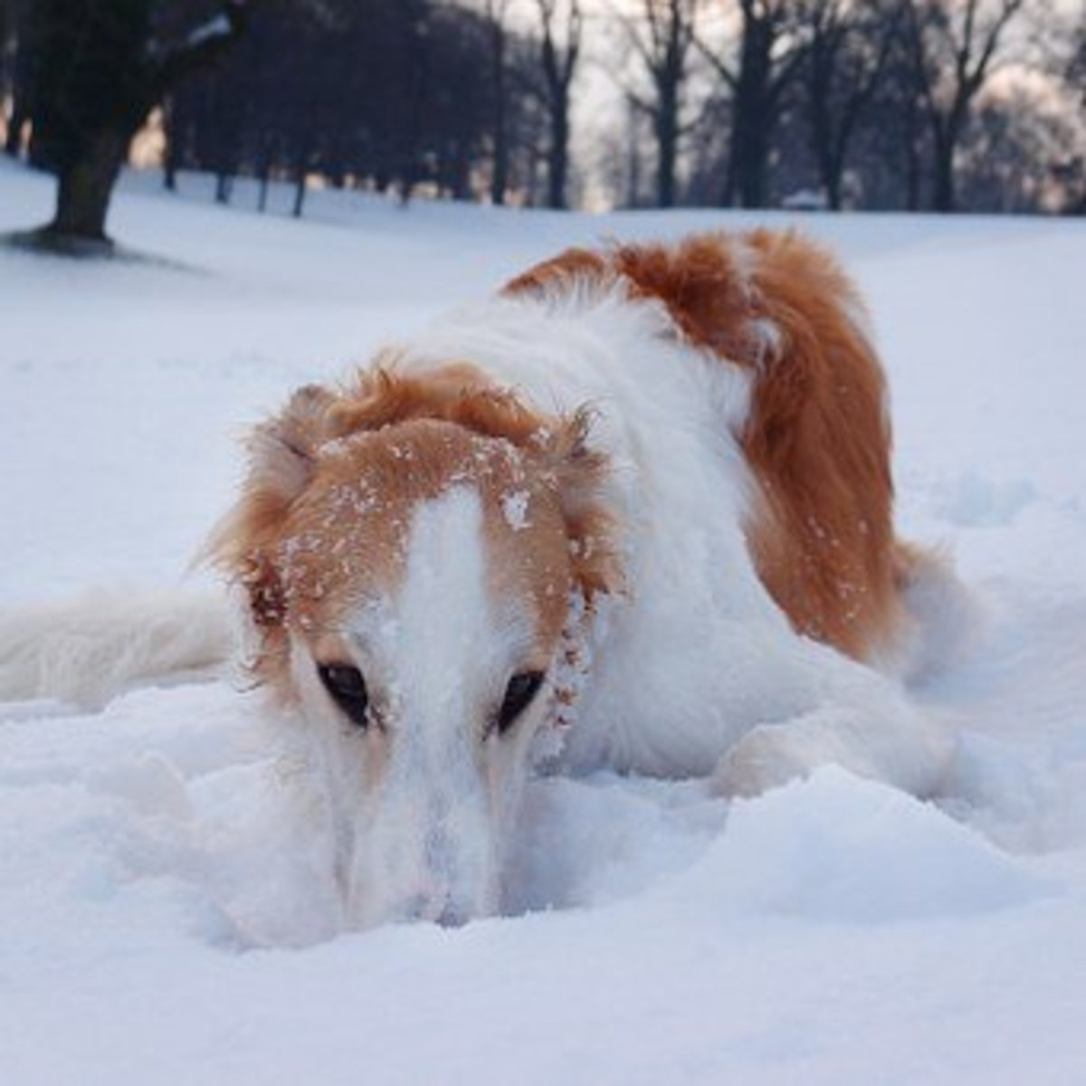 Borzoi waiting to be called by name.