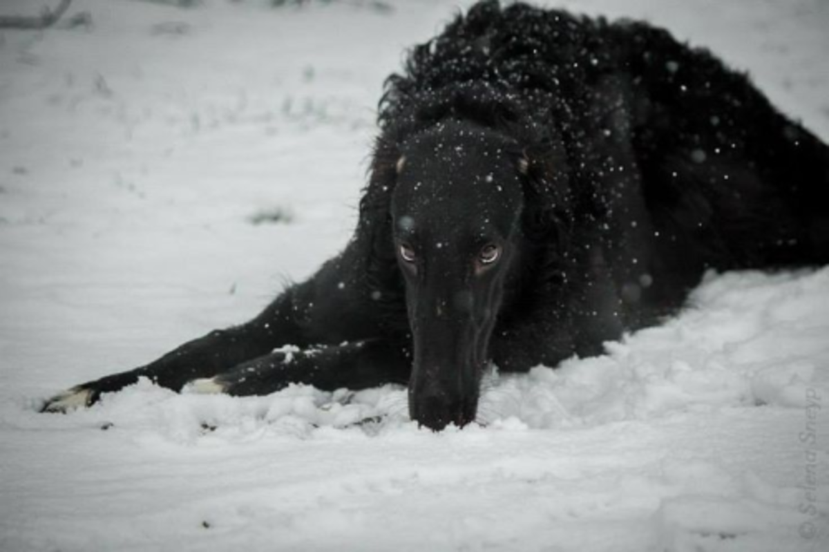 Black Borzoi who could be named Vodyonoy