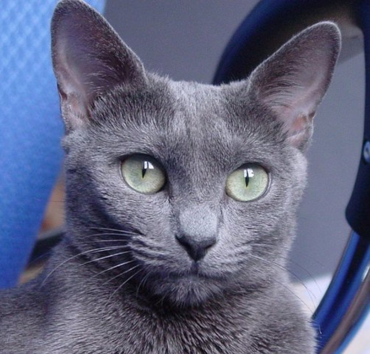 A Russian Blue with Beautiful Green Eyes