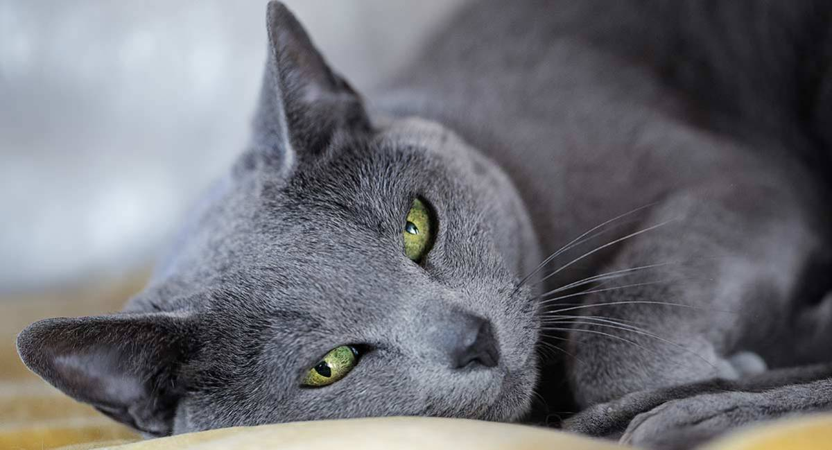 A Russian Blue resting after a good stomp around the house.