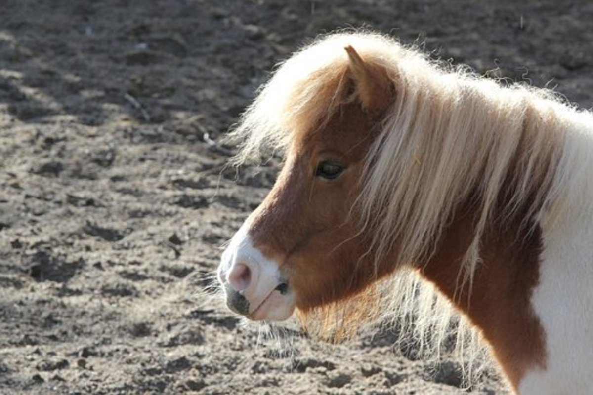 A pony named Sindri.