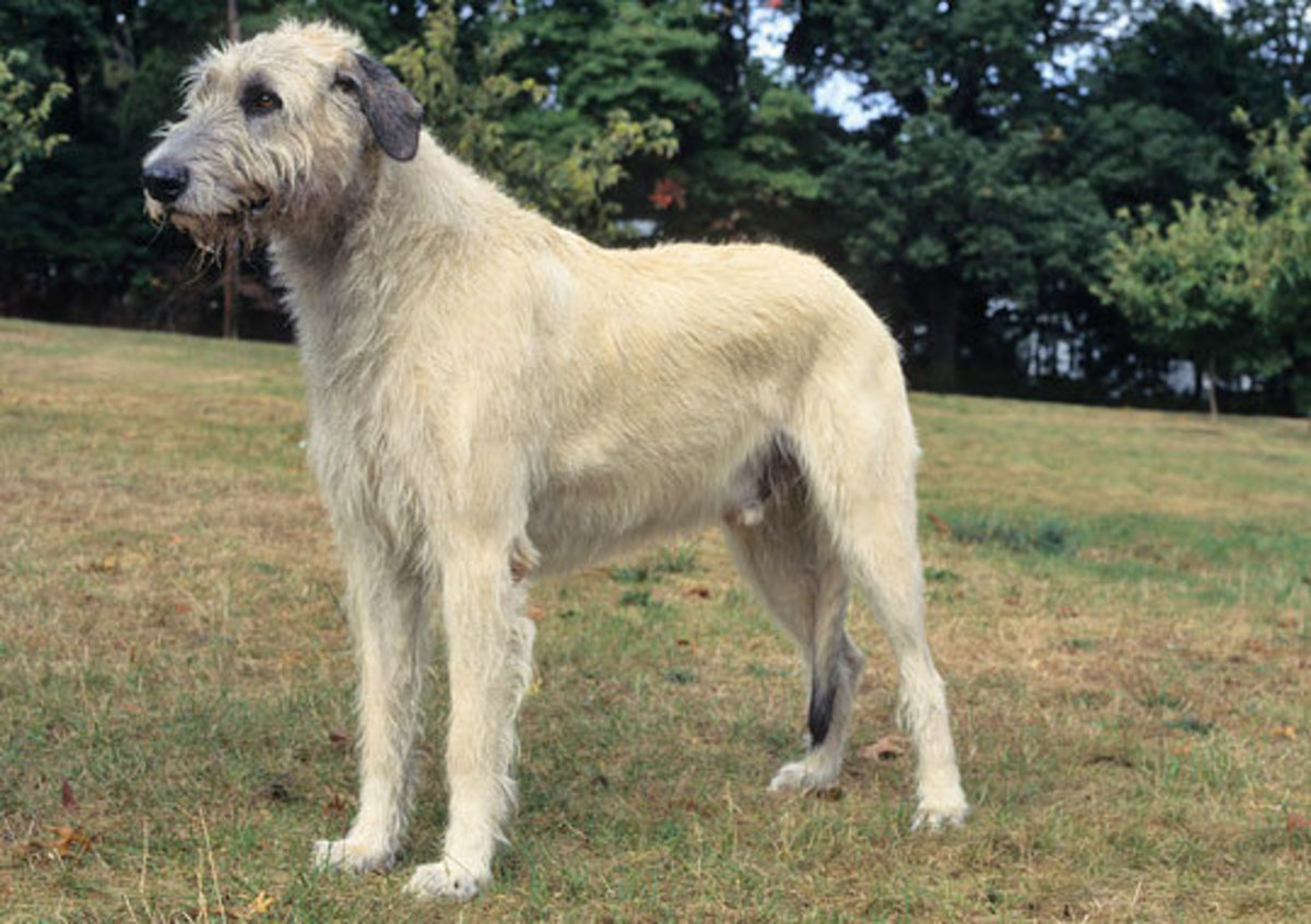 White Irish Wolfhound