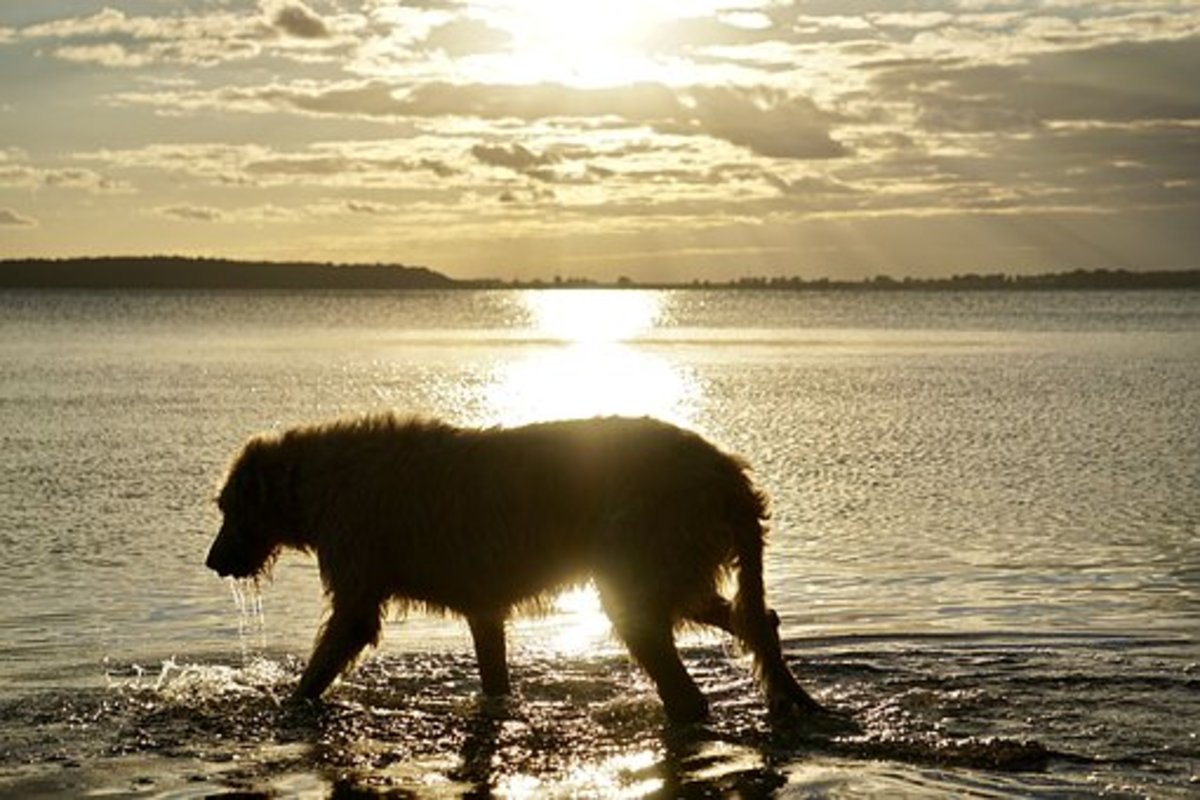 Irish Wolfhound coming out of the sea like Lir.