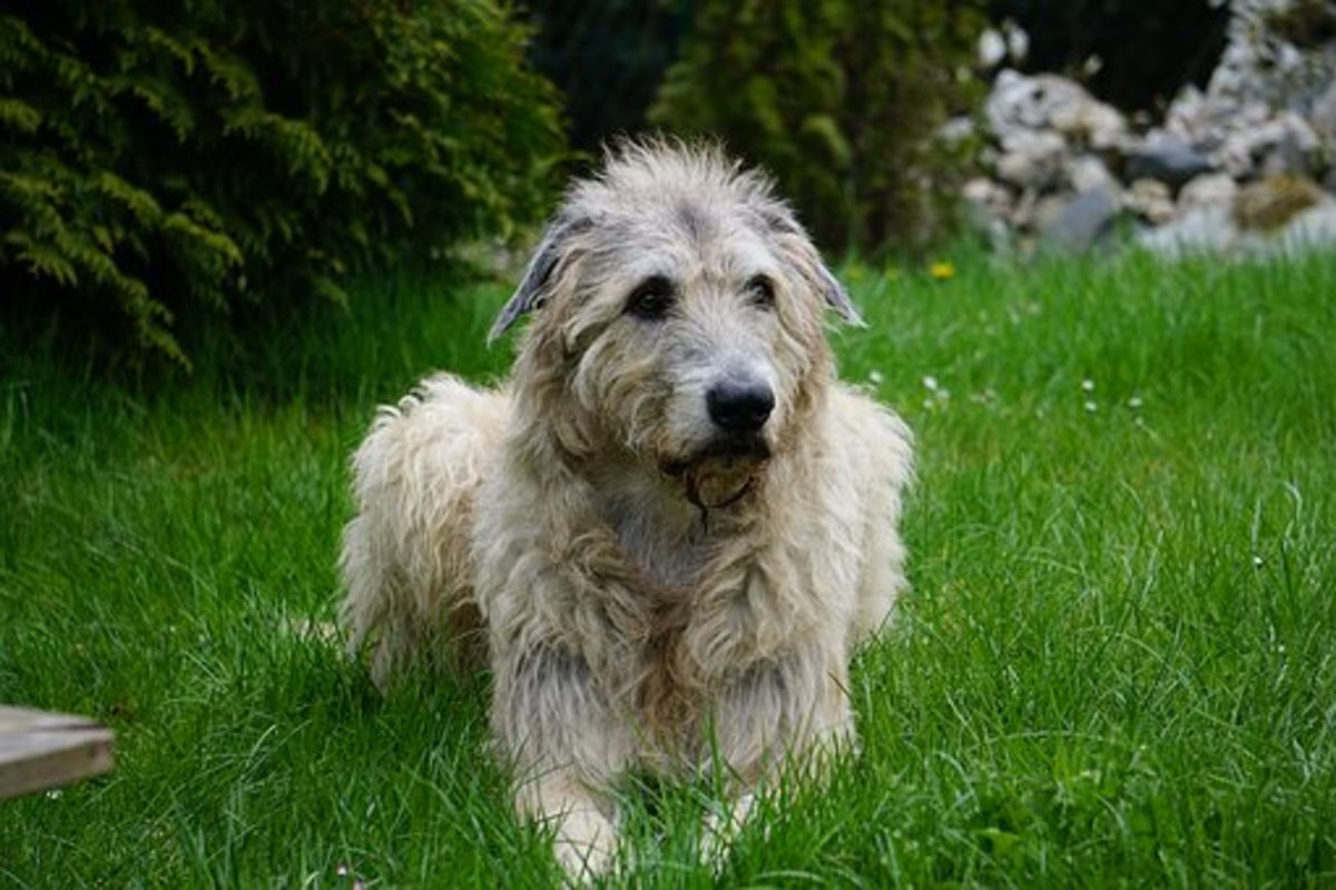 Gray Irish Wolfhound