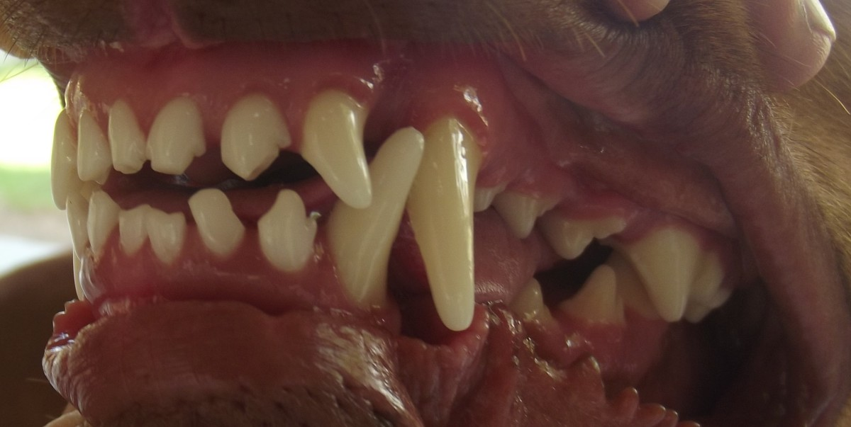 Dogs eating a raw diet have clean teeth and few problems from dental disease.