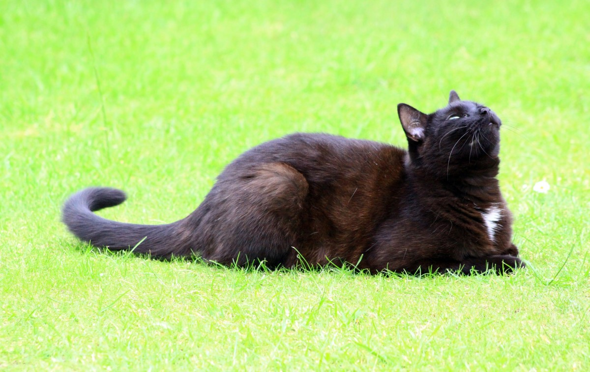 """A predominantly black cat sporting a """"locket"""" of white."""