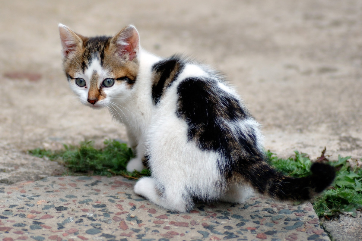 A tabby kitten with a harlequin pattern.