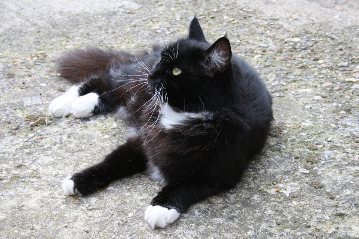 A black-and-white tuxedo cat.