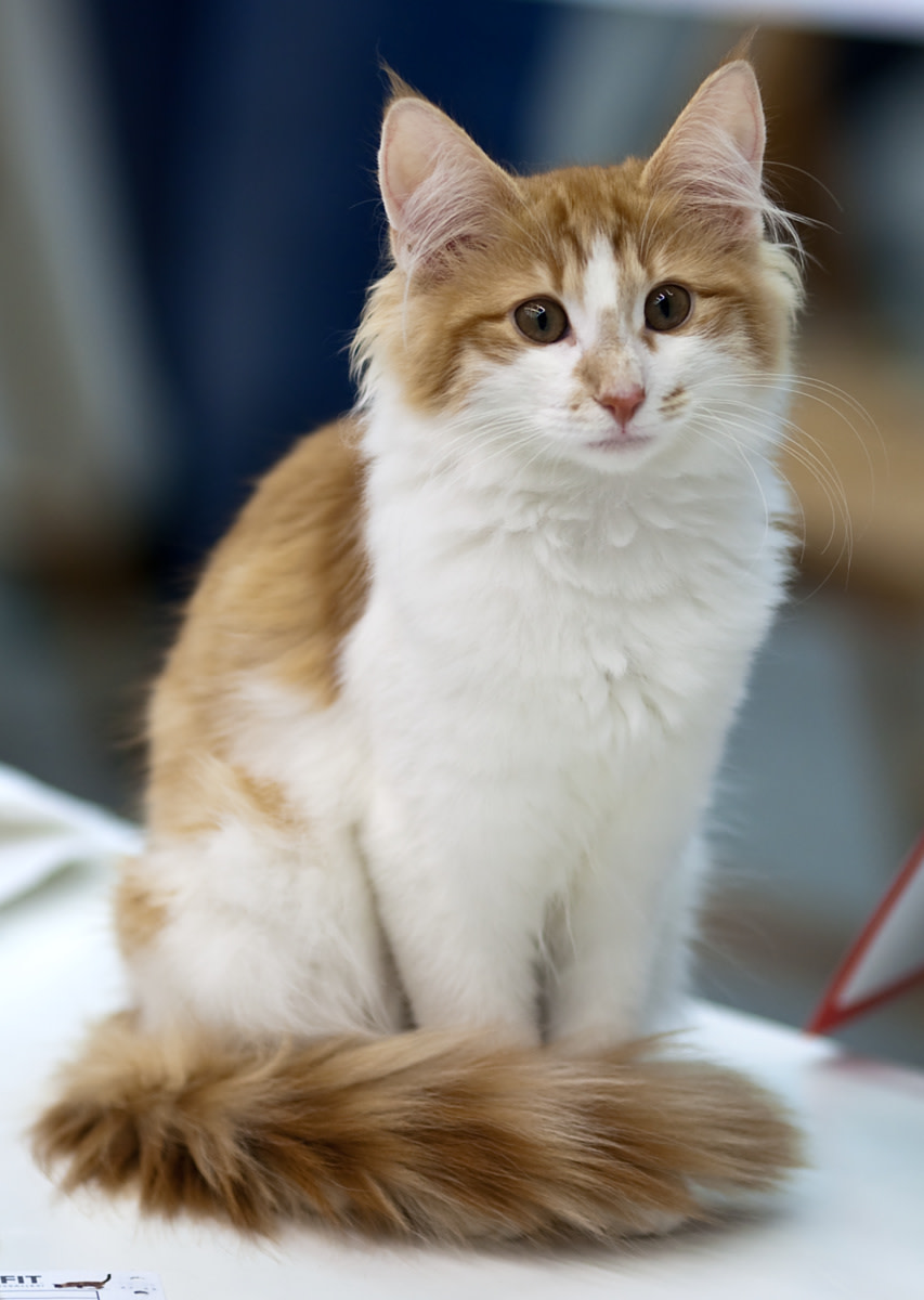 A red-and-white bicolor Norwegian Forest Cat, shown here at an international cat show.