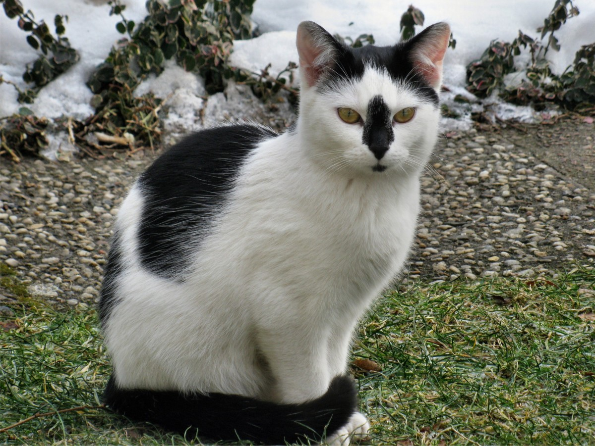 A black-and-white bicolor cat.