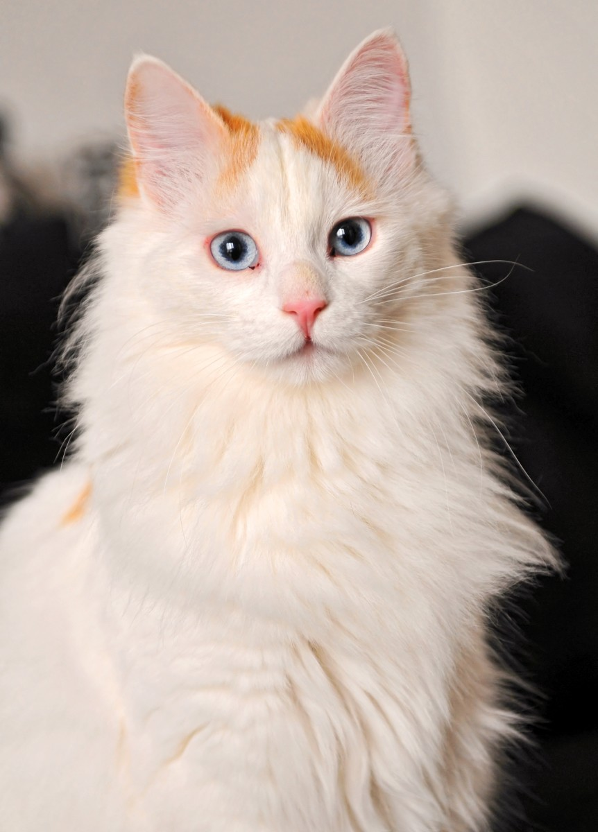 A Turkish Van with the titular pattern, visible on the top of the head.