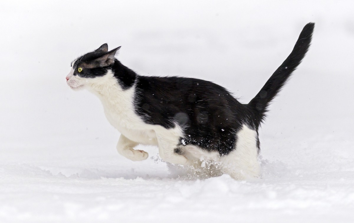 A mask-and-mantle cat running through the snow.
