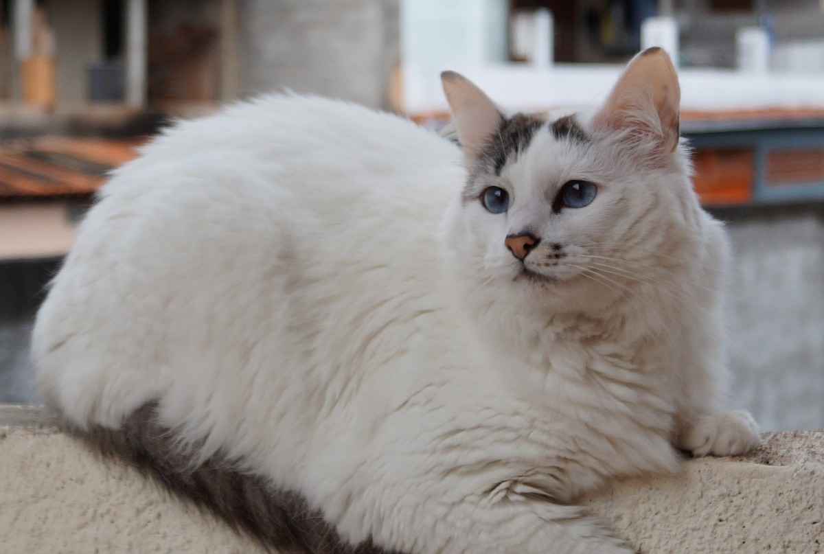 A grey-and-white cat with a van pattern.