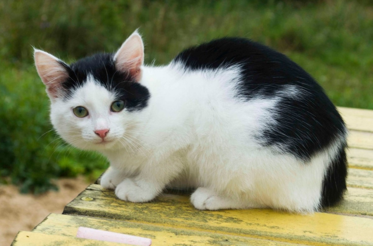A black-and-white cat with a cap-and-saddle pattern.