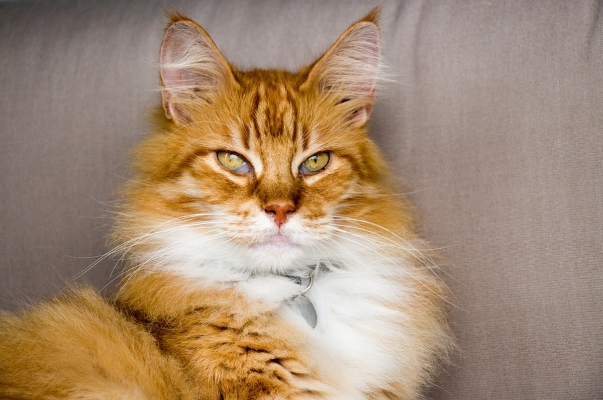 This cat is named Tau. It means Lion. He lives up to his name.