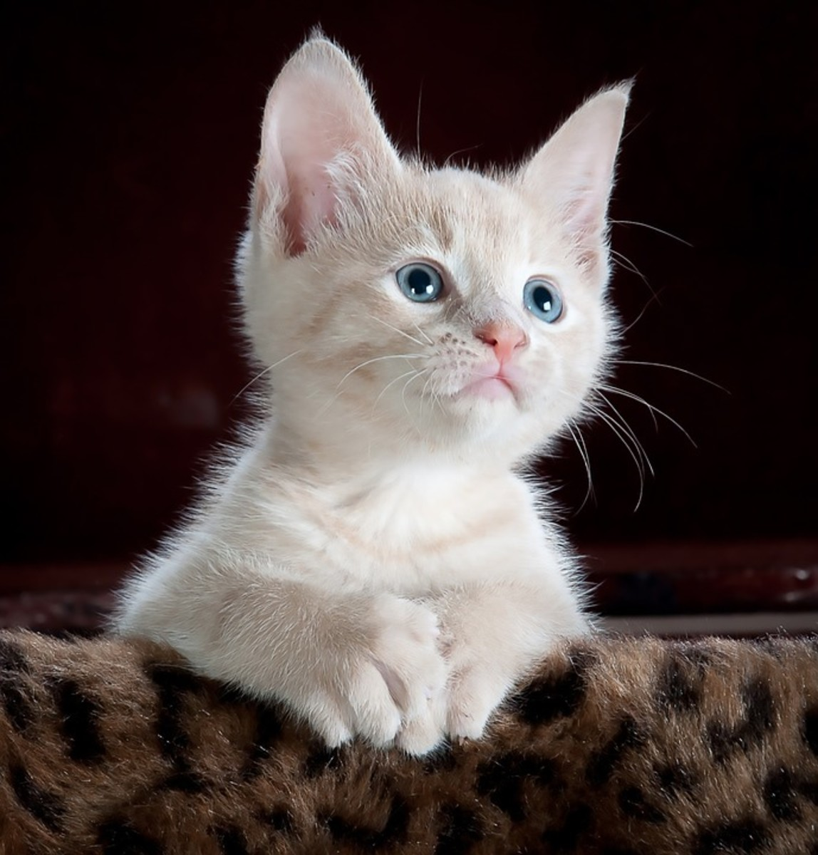 This sweet kitten could do great with the African name Daliah.